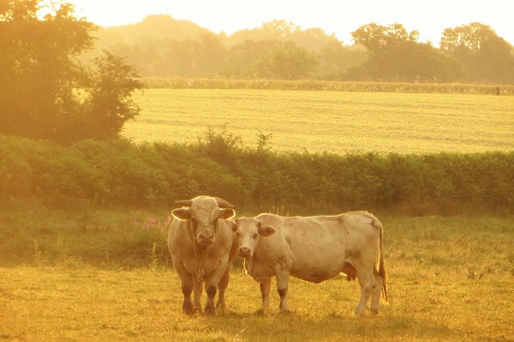 De verliefde koe